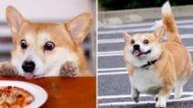 Gen, il corgi star di Instagram: il cane più espressivo che ci sia