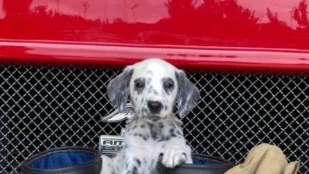Il cucciolo di dalmata che non vede l'ora di diventare un pompiere