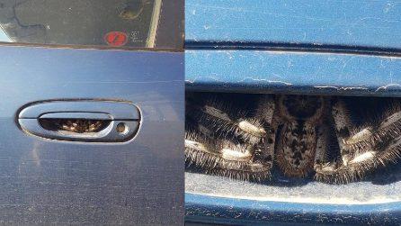 Donna terrorizzata trova un enorme ragno nascosto nella maniglia della portiera della macchina