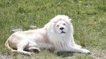 Un rarissimo leone bianco: la sua bellezza è maestosa