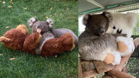 Il koala abbraccia forte il suo amico Teddy: non si separa mai da lui
