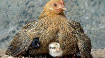 Tutto l'amore di mamma chioccia che difende e tiene al riparo i suoi piccoli