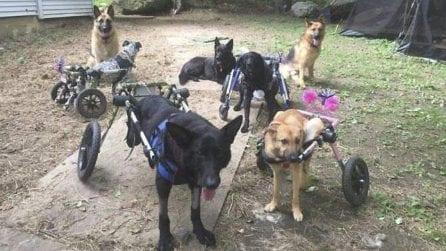 Nessuno li voleva, questa donna decide di adottare 8 cani disabili e dargli tutto l'amore che può