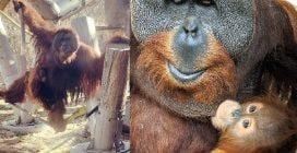 Papà orango si prende cura della sua piccola: un evento più unico che raro