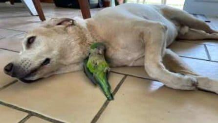 Il labrador salva la vita a un pappagallino in fin di vita