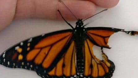 La donna aiuta la farfalla con l'ala rotta a volare per la prima volta