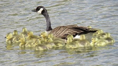 I pulcini sono in difficoltà: mamma oca li guida nel fiume