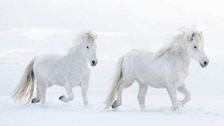 Gli scatti del fotografo mostrano lo spettacolo di cavalli liberi tra paesaggi innevati