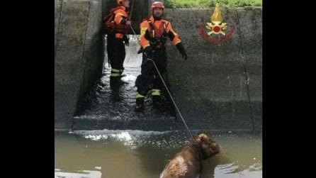 Vitello cade in un canale, l'intervento provvidenziale dei vigili del fuoco