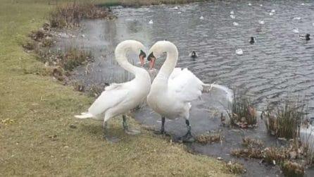 I due cigni innamorati si rivedono dopo un mese e formano un cuore