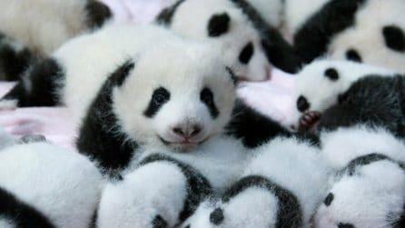 L'asilo nido più dolce che ci sia: decine di cuccioli di panda giocano insieme