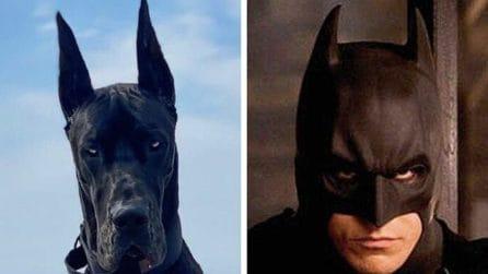 Tutti pazzi per Enzo: l'alano nero che somiglia a Batman