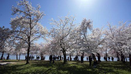 Ciliegi in fiore presso il National Mall di Washington