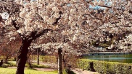 Sboccia la Primavera a Roma: i ciliegi in fiore al laghetto dell'Eur