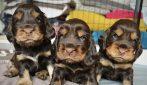 I 3 cagnolini che sembrano sempre arrabbiati