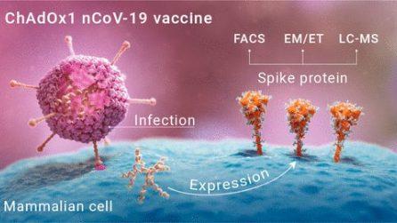 Le prime immagini di come funziona il vaccino di Astrazeneca nelle cellule