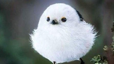 L'uccellino che somiglia a un batuffolo di ovatta con le ali