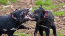 Australia, nati sette cuccioli di Diavoli della Tasmania: non accadeva da 3 mila anni