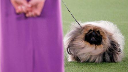 Il pechinese Wasabi incoronato cane più bello d'America