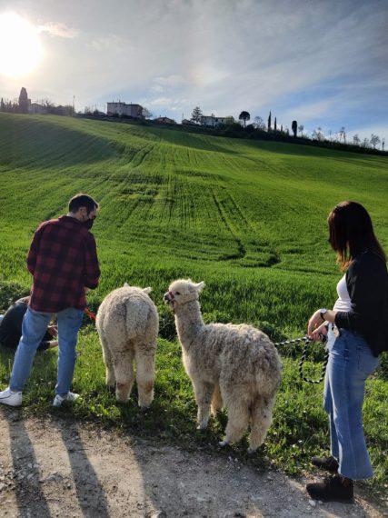 Passeggiare in compagnia degli alpaca è un'esperienza da provare, specialmente in un paesaggio così scenograco come quello delle colline umbre, dove sorge il Castello di Crocicchio. Link all'esperienza: www.airbnb.it/experiences/2452174 A paire da 25€ a persona