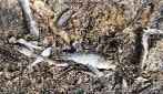 Spagna, moria di pesci nel Mar Menor: si teme gravissimo episodio di anossia