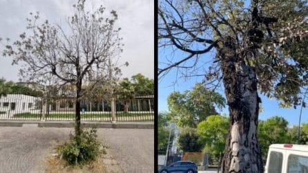 Gli alberi del Lungomare di Napoli in agonia, il Comune ne abbatterà 30