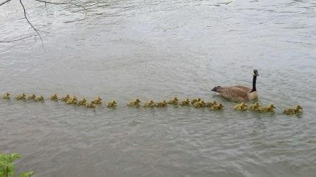 Mamma oca si prende cura di 47 piccoli e li tiene tutti al sicuro