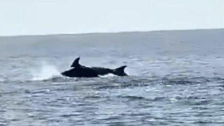 Delfini a Baia Domizia, le immagini spettacolari riprese dalla spiaggia