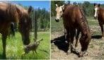 Una piccola cerbiatta resta sola, i cavalli si prendono cura di lei