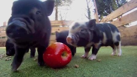 Una mela per due baby porcellini
