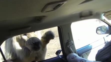 Attratto dalla videocamera tenta invano di entrare in auto