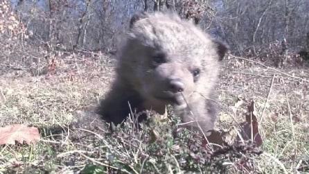 Tre orsetti ritrovano la libertà grazie agli attivisti