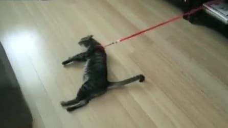 Al gatto non piace il guinzaglio, ecco come reagisce