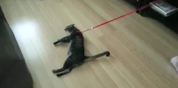 Mettere il collare al gatto, come farlo