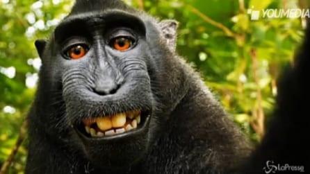 Fotografo fa scattare un selfie alla scimmia, wikipedia finisce in tribunale