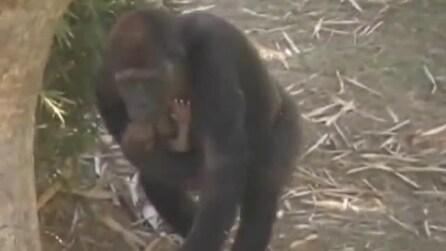 Gorilla nato allo zoo Belo Horizonte, ecco il suo primo giorno di vita