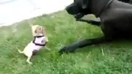 Un alano e un chihuahua giocano insieme nonostante le loro differenze