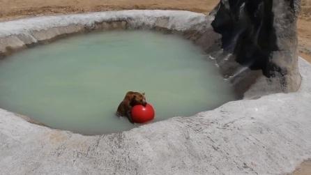 L'orso grizzly si diverte a giocare con la palla nel laghetto