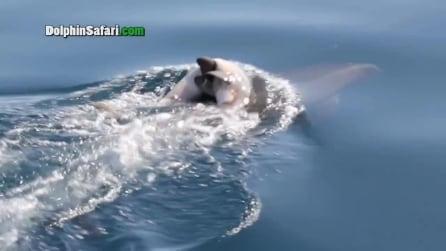 Delfino trascina il suo cucciolo morto per giorni