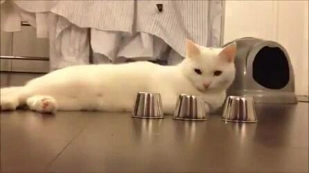 Il gatto e il gioco delle tre ciotole: dove sarà la biglia?