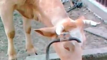 La mucca intelligente e assetata impara ad aprire la fontana