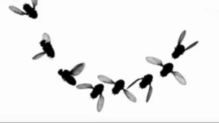 Un moscerino vira più in fretta di un jet, la scoperta della University of Washington