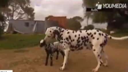 Dalmata adotta un agnellino rimasto orfano