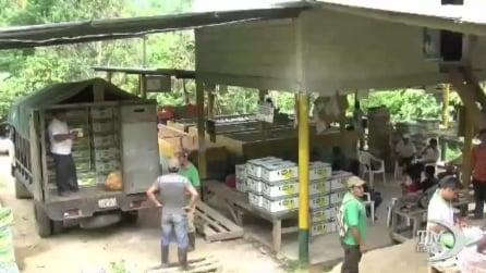 Allarme FAO sulla rapida diffusione del fungo che distrugge coltivazioni di banane