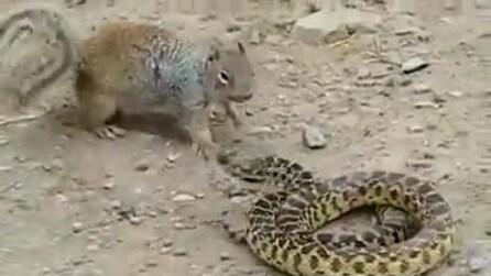 Scoiattolo contro serpente. Chi vincerà?