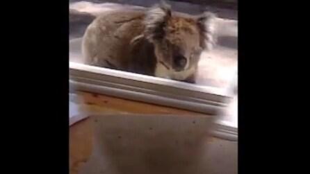 Australia, ecco cosa succede se si lascia aperta la porta di casa