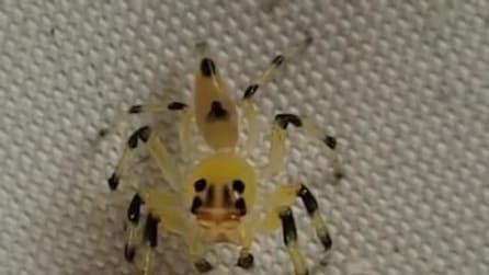 Uno spettacolare ragno ballerino trasparente