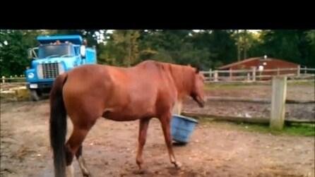 Il cavallo giocherellone che si diverte con un secchio