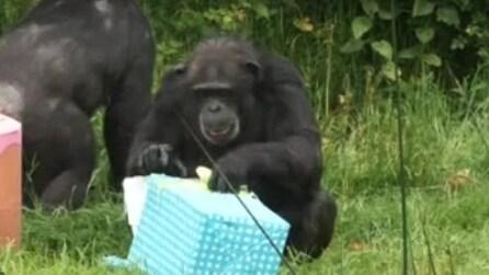 Scimpanzé si divertono a scartare i loro regali di compleanno