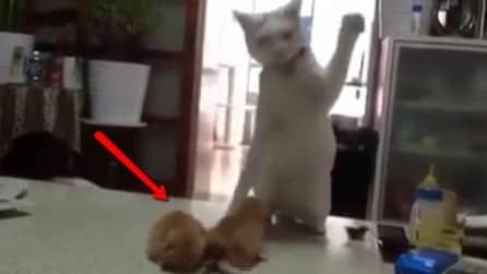 Papà gatto insegna ai piccoli come combattere